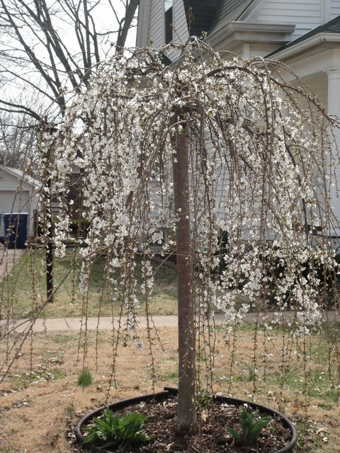 White weeping cherry tree
